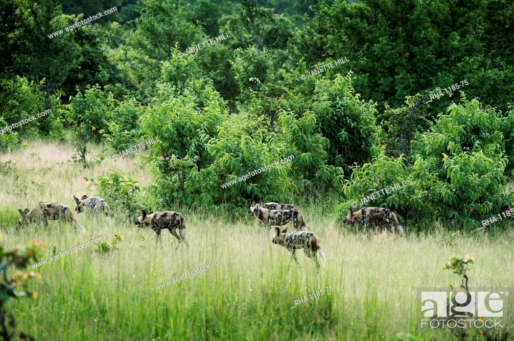 Stock Photo: Pack of African wild dogs (painted dog) (Cape hunting dog) (Lycaon pictus), South Luangwa, Zambia, Africa.