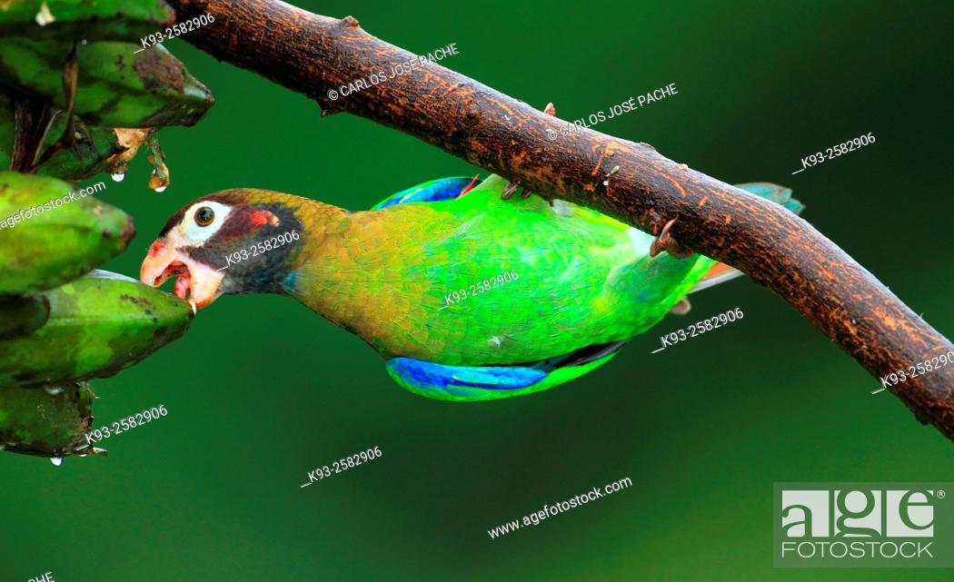 Imagen: Pionopsitta haematotis, Loro Cabecipardo Lora, en Boca Tapada, Costa Rica.