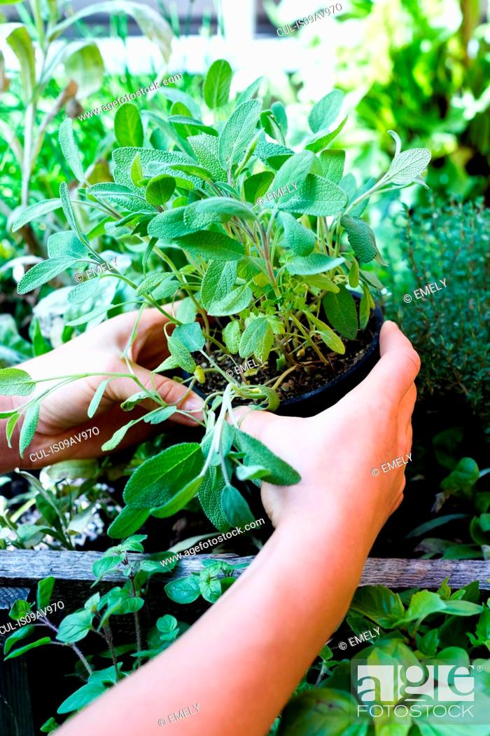 Imagen: Woman holding herb in pot, close up.