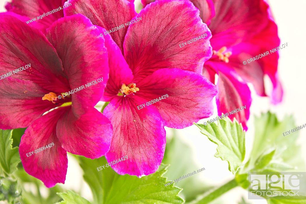 Stock Photo: Blossoming geranium.