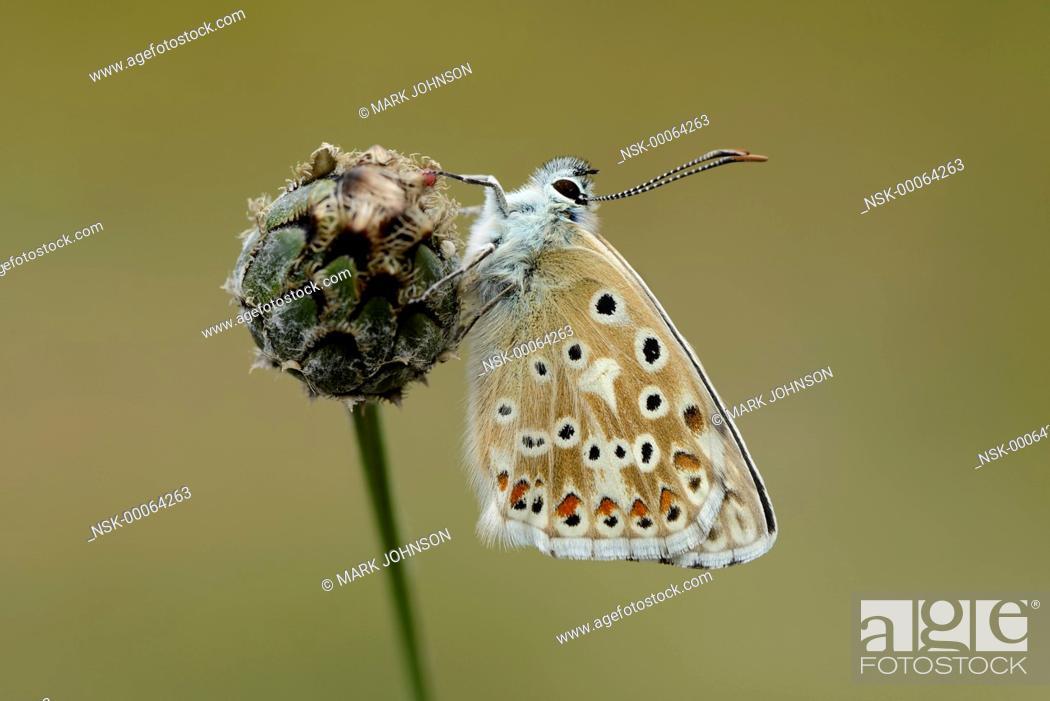 Stock Photo: Chalkhill Blue (Polyommatus coridon) resting on knapweed, England, Cambridgeshire, Devil's Dyke.
