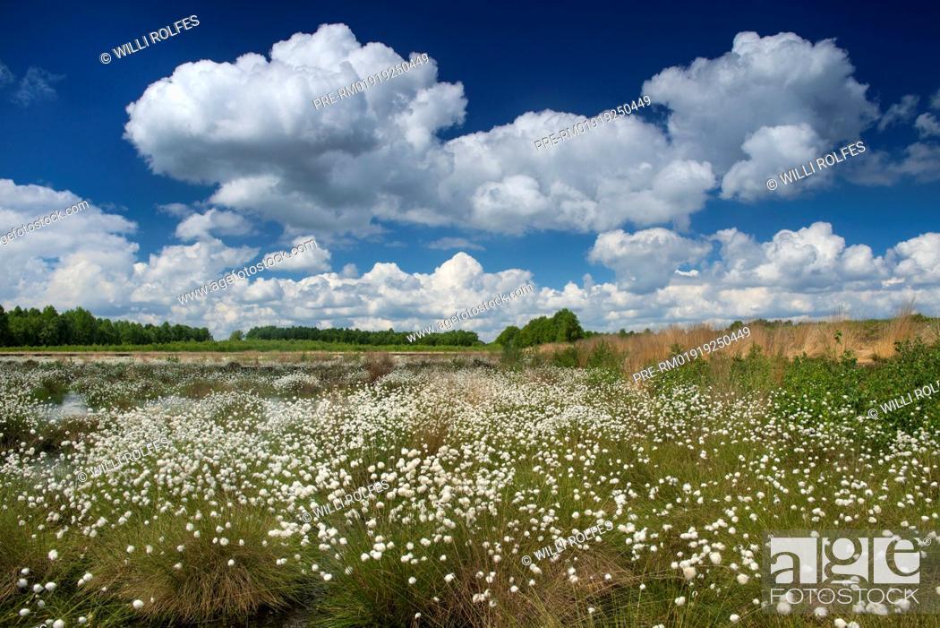 Stock Photo: Hare's-tail Cottongrass, Eriophorum vaginatum, Goldenstedter Moor, Lower Saxony, Germany / Scheiden-Wollgras, Eriophorum vaginatum, Goldenstedter Moor.