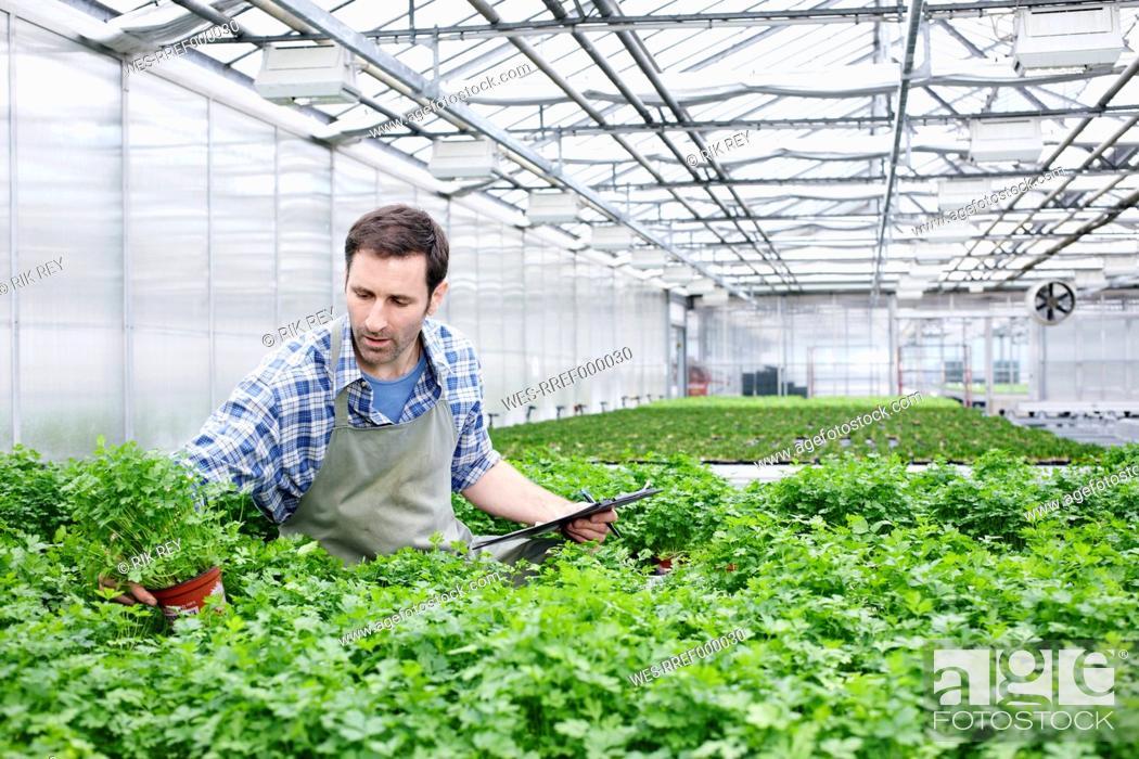 Stock Photo: Germany, Bavaria, Munich, Mature man examining parsley plants in greenhouse.