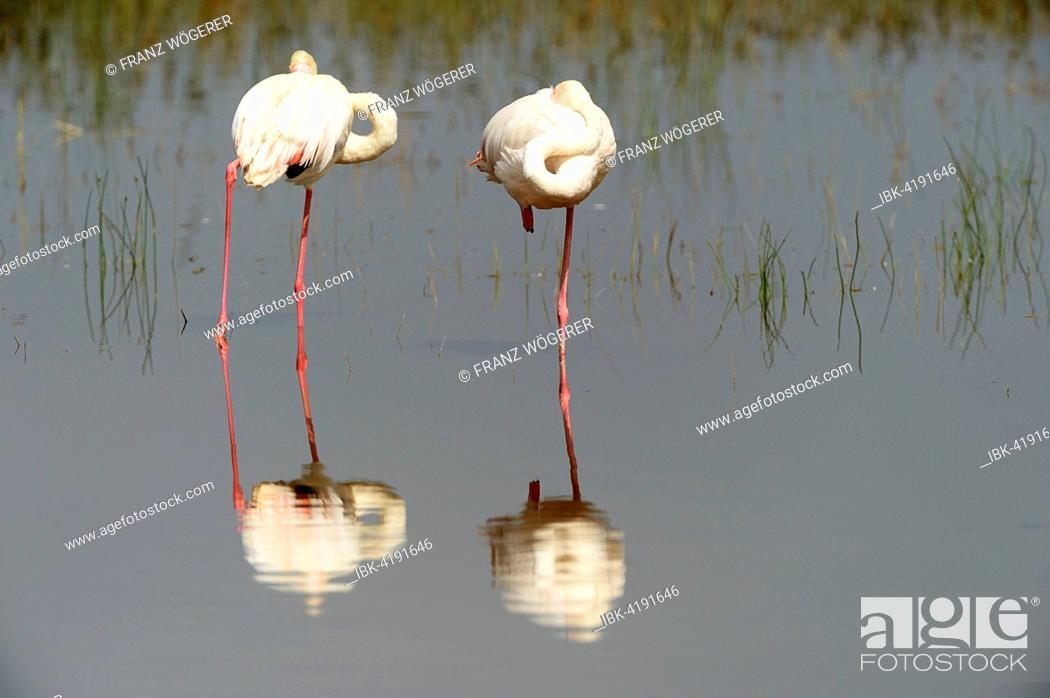 Stock Photo: Greater Flamingos (Phoenicopterus roseus), with reflection, Lake Nakuru National Park, Kenya.