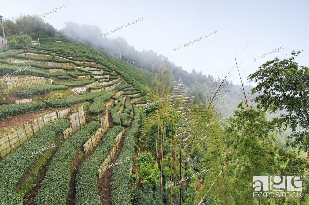 Stock Photo: Oolong Tea plantation in Taiwan.