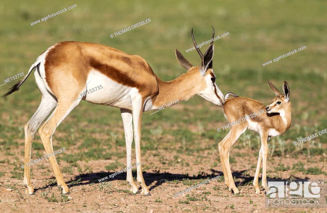 Stock Photo: Springbok (Antidorcas marsupialis). Ewe cleans its newly born lamb. During the rainy season in green surroundings. Kalahari Desert, Kgalagadi Transfrontier Park.