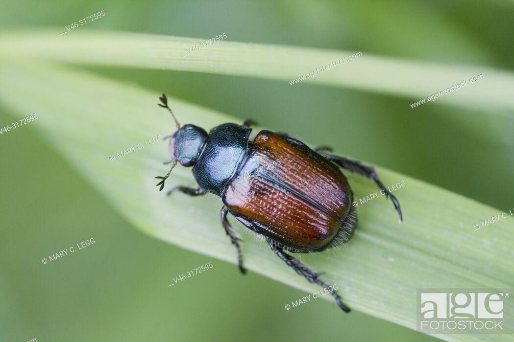 "Stock Photo: Garden Foliage Beetle, Phyllopertha horticola. Garden Chafer. 8. 5â. ""12 mm length. Metallic green pronuntum and head with chestnut body."