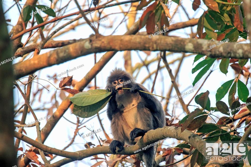 Stock Photo: South east Asia, India, Tripura state, Phayre's leaf monkey or Phayre's langur (Trachypithecus phayrei).