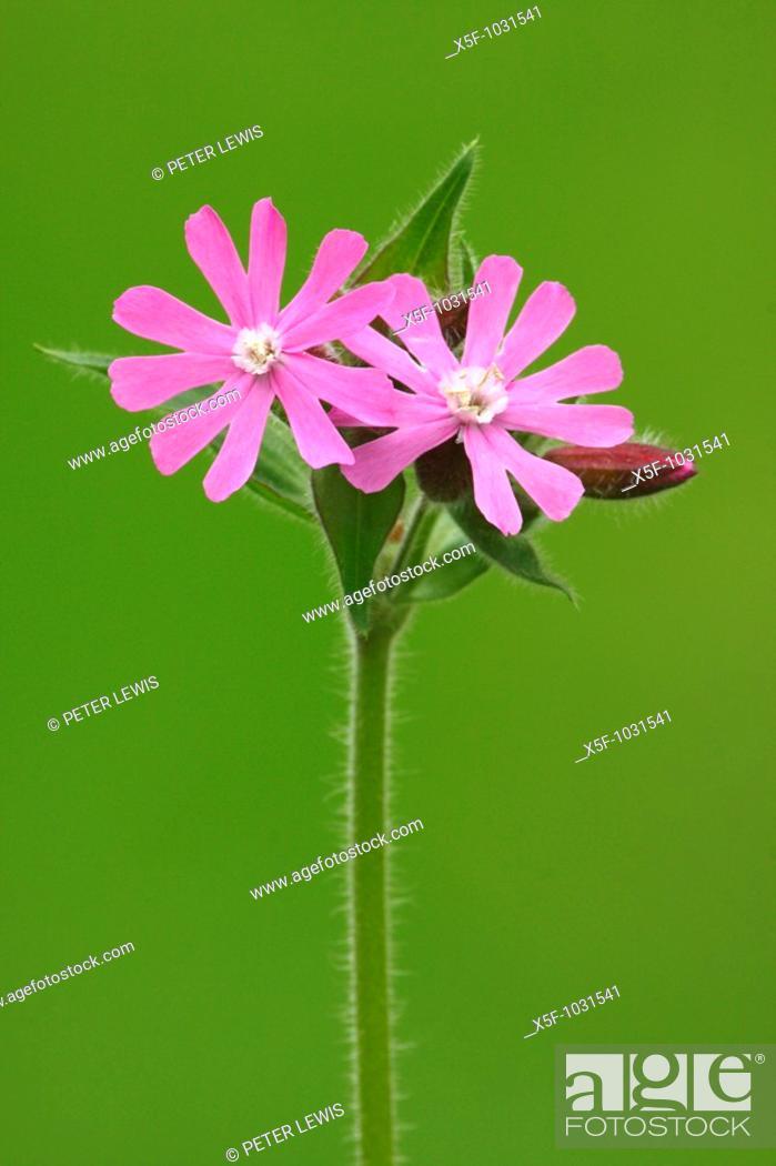 Stock Photo: Red Campion Melandrium dioicum Pamp Hill Dorset.