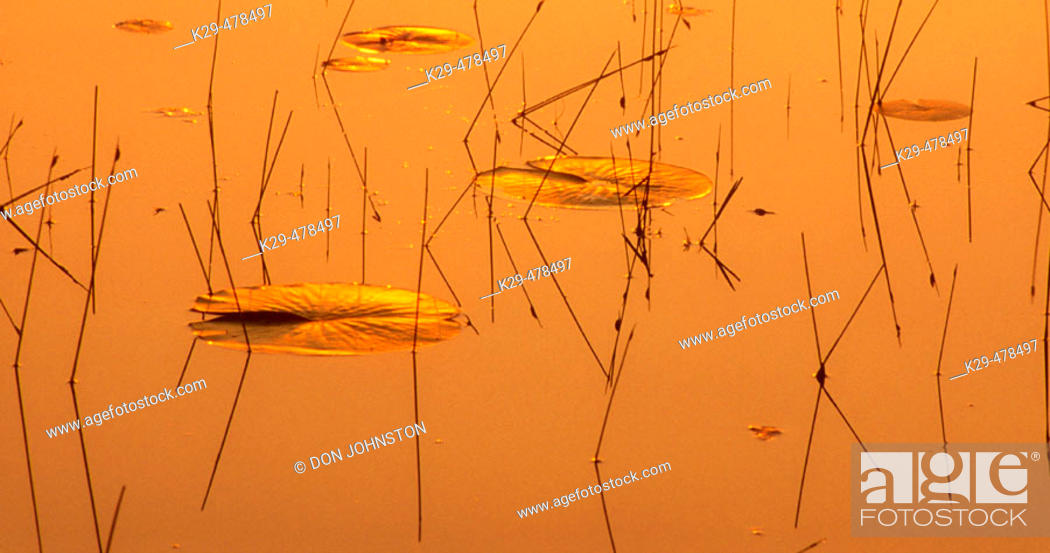 Stock Photo: Golden morning skies reflected in Lighthouse Pond waters, with lily pads and pond sedges. Killarney PP. Ontario, Canada.