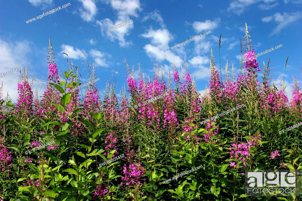 Stock Photo: fireweed, blooming sally, rosebay willow-herb, great willow-herb (Epilobium angustifolium, Chamaenerion angustifolium), blooming, Norway.