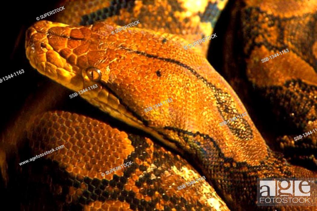 Stock Photo: Close-up of a python.