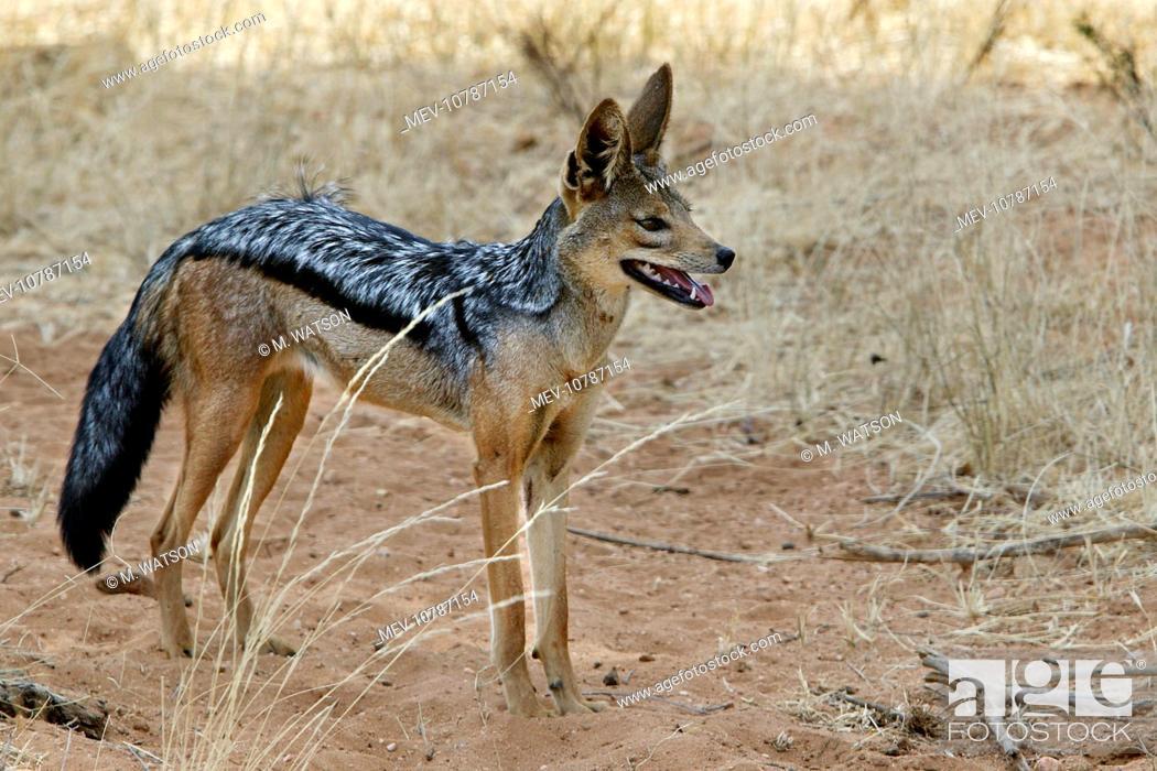 Stock Photo: Golden / Asiatic Jackal (Canis aureus).