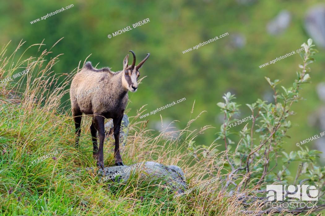 Stock Photo: Chamois (Rupicapra rupicapra), Hohneck, Vosges, Alsace, France.