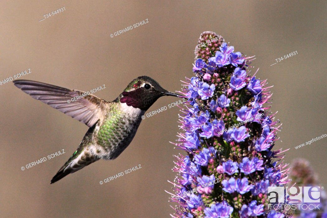 Stock Photo: Ruby-throated hummingbird (Archilochus colubris). California, USA.