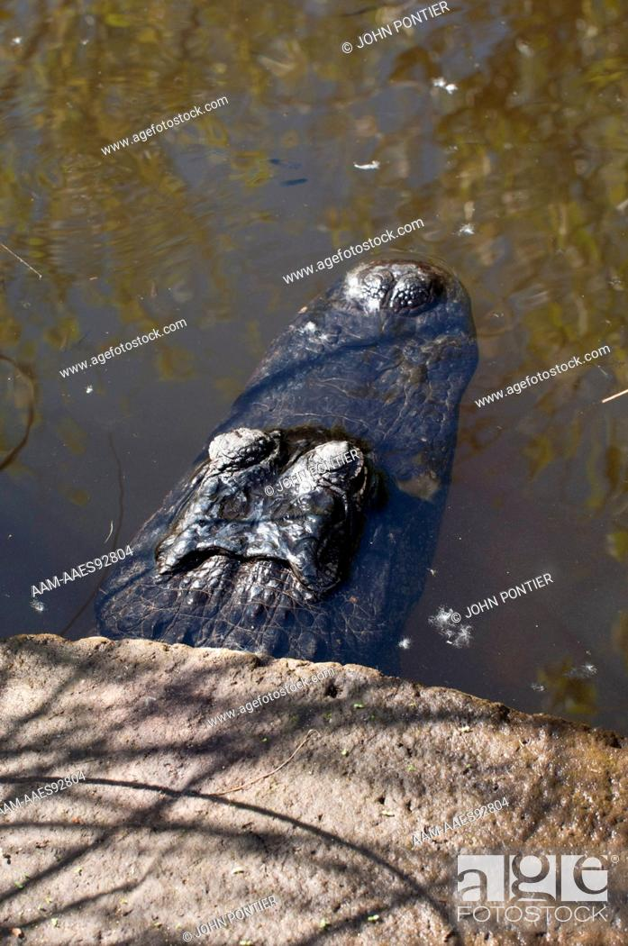 Stock Photo - American Alligator (Alligator mississippiensis) head  protruding from a concrete culvert, Everglades National Park, Florida, USA
