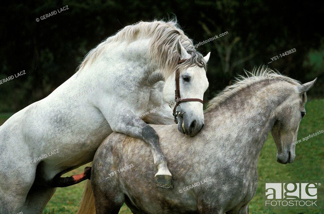 Stock Photo: LIPIZZAN HORSE, MARE AND STALLION MATING.