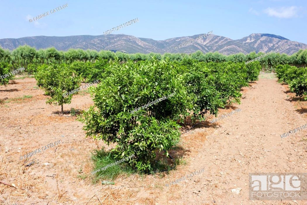 Imagen: Tunisia - Cap Bon - Between Soliman and Korbous - Fields of citrus fruits.