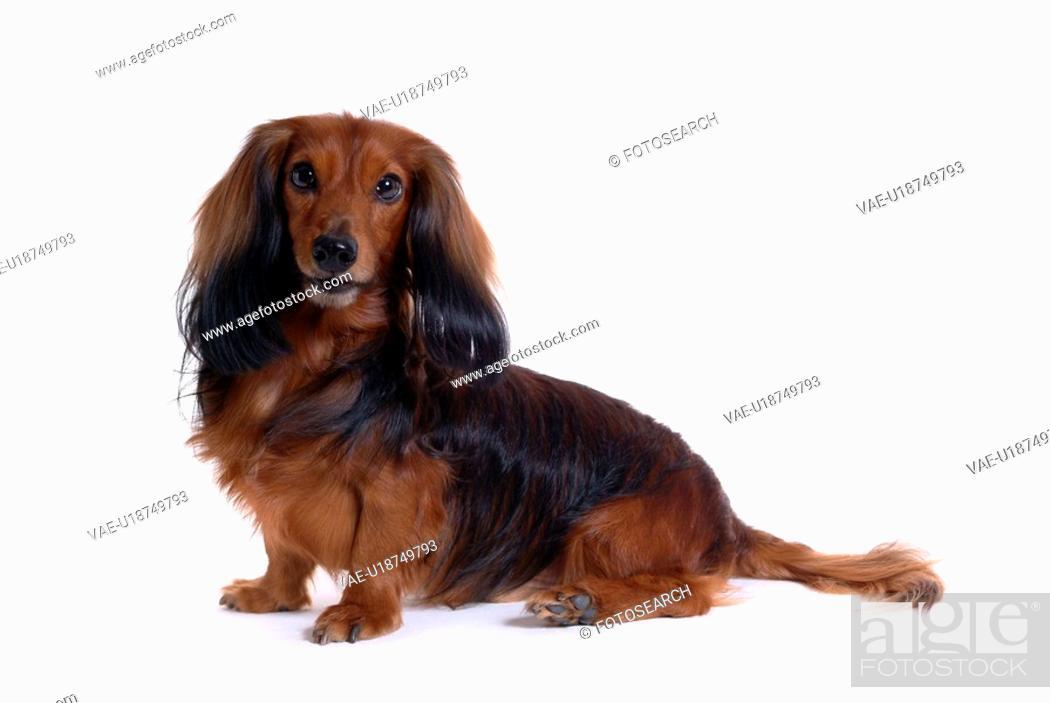 Stock Photo: canine, domestic animal, closeup, close up, looking camera, dachshund.