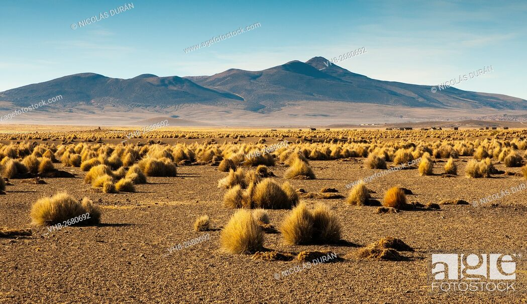 Imagen: Landscape high (puna) with pajonal (Stipa ichu) in Sajama National Park, on the border with Chile. Department of Oruro. Bolivia. South America.