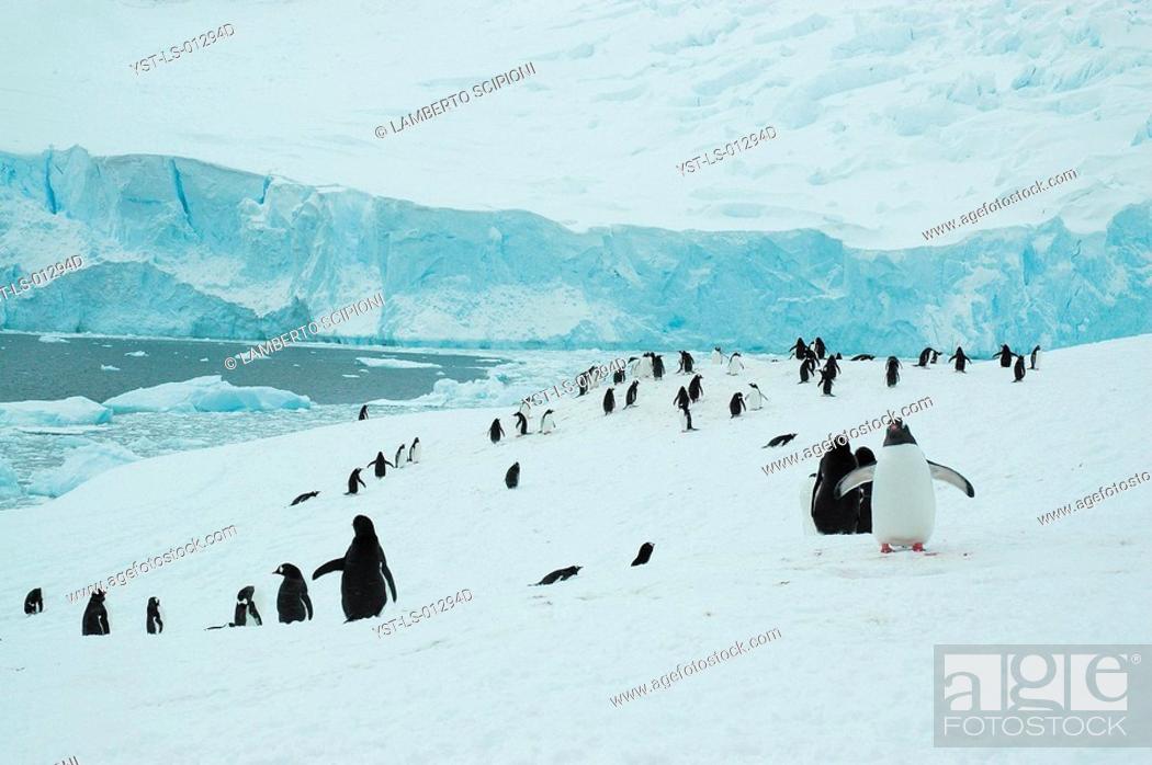 Imagen: Animal, Penguin, Polar Desert, Cuvervil, South Pole, Antarctica.