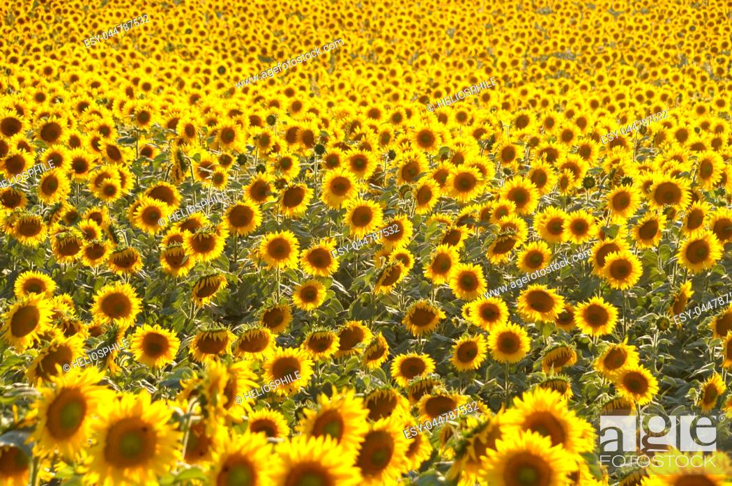 Stock Photo: sun flower field.