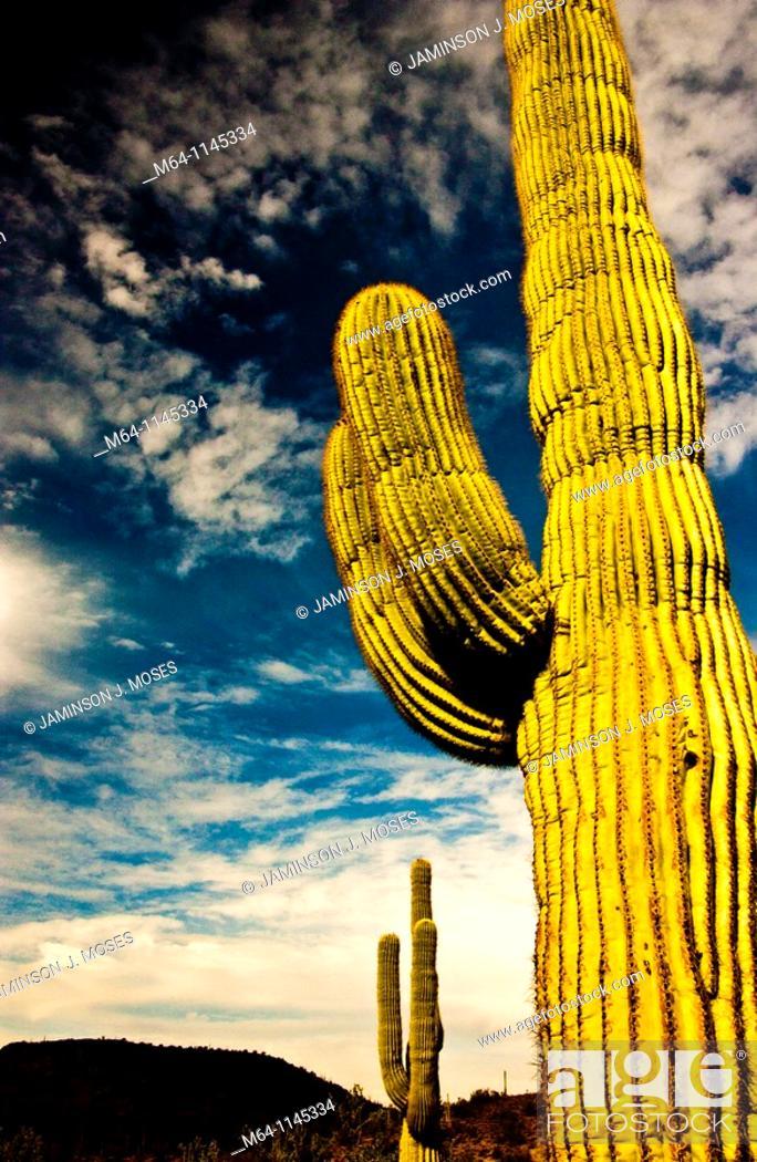 Stock Photo: Saguaro cactus in the southern Arizona Desert.
