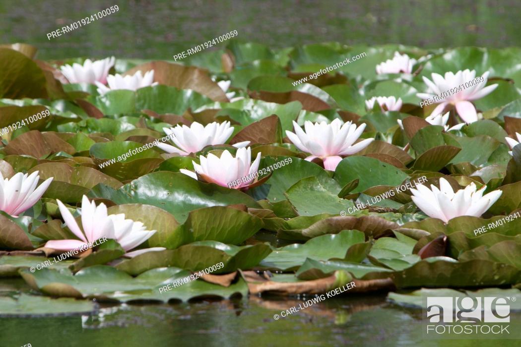 Stock Photo: Water lilies, Feldberger Seenlandschaft, Mecklenburgische Seenplatte district, Mecklenburg-Vorpommern, Germany / Seerosen, Feldberger Seenlandschaft.