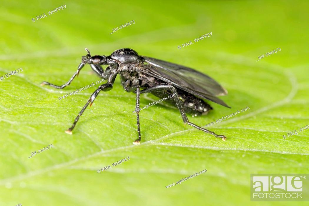 Stock Photo: St Mark's Fly (Bibio marci), female, on a leaf, South Wales, United Kingdom.