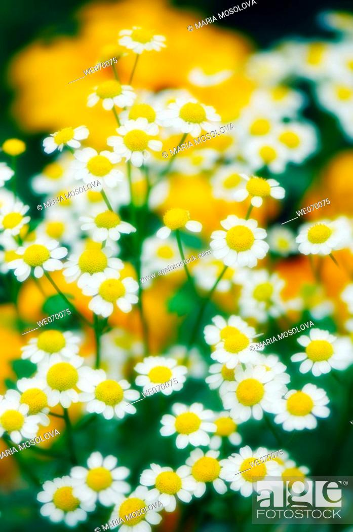 Stock Photo: Feverfew Daisies. Tanacetum parthenium. July 2006, Maryland, USA.