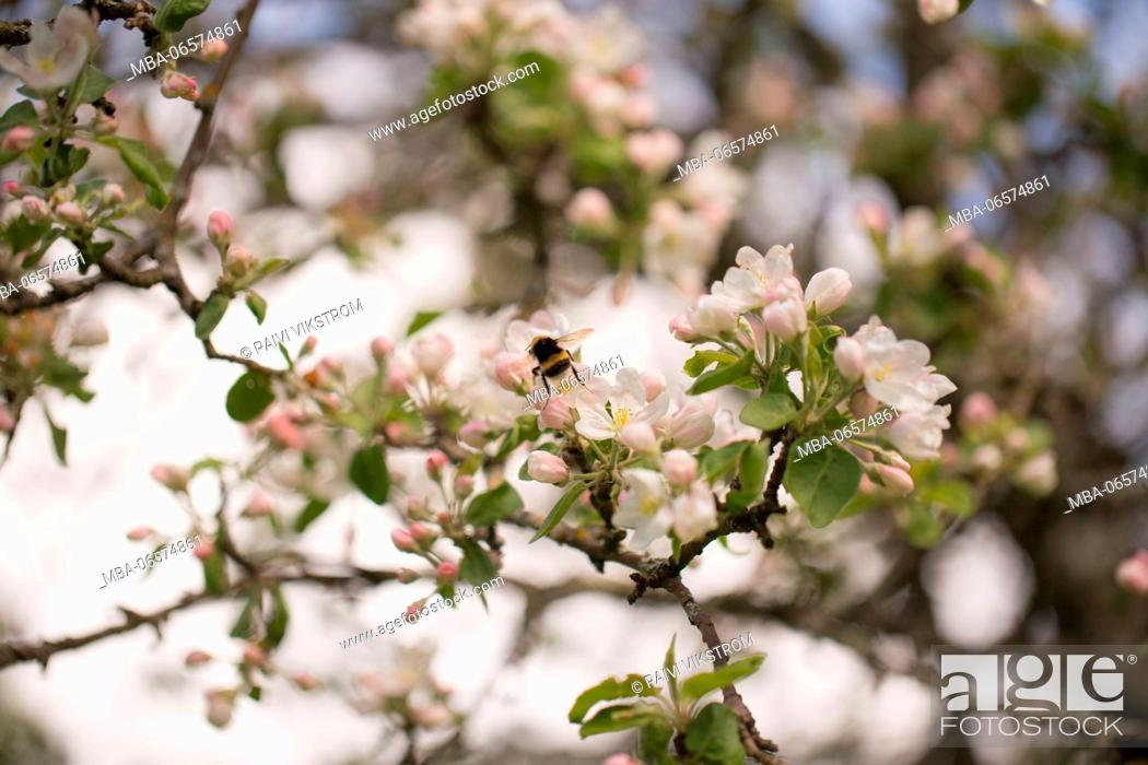 Stock Photo: Apple Tree branches with flowers with honeybee in close-up.