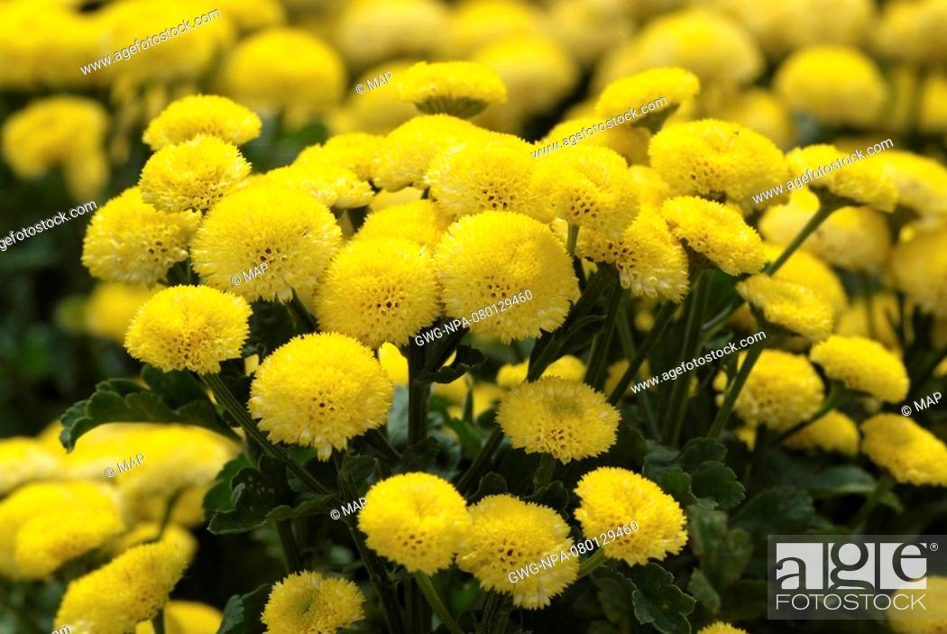 Stock Photo: MATRICARIA 'GOLD MOON' MATRICAIRE.