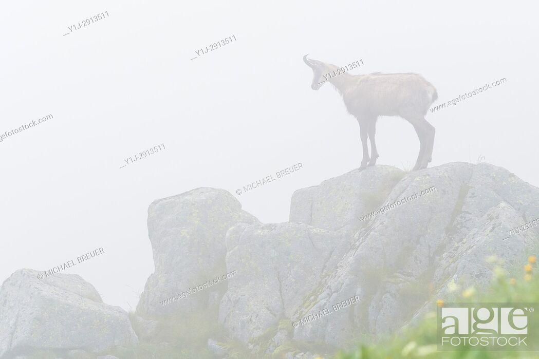 Stock Photo: Chamois (Rupicapra rupicapra) in Mist, Hohneck, Vosges, Alsace, France, Europe.