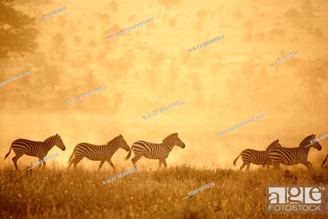 Stock Photo: Zebras crossing the Serengeti at sunset.