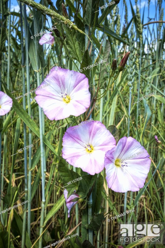 Stock Photo: Flowers in a grain field ( Convolvulus Arvensis ) Bindweed in the Morning glory family. Tübingen, Baden Württemberg, Germany.