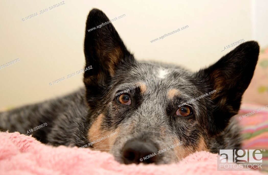 Stock Photo: A Blue Heeler or Australian Cattle Dog contracted Valley Fever, coccidioidomycosis, in Tucson, Arizona, USA. Valley Fever is a disease caused by a fungus known.