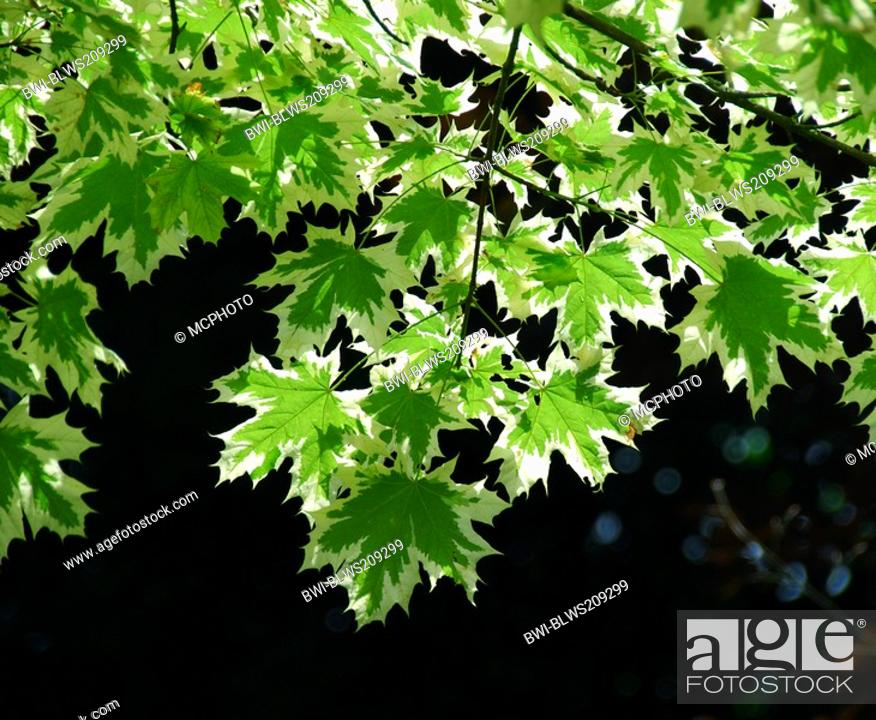 Stock Photo: Norway maple Acer platanoides, cultivar 'Drummondii', leaves.