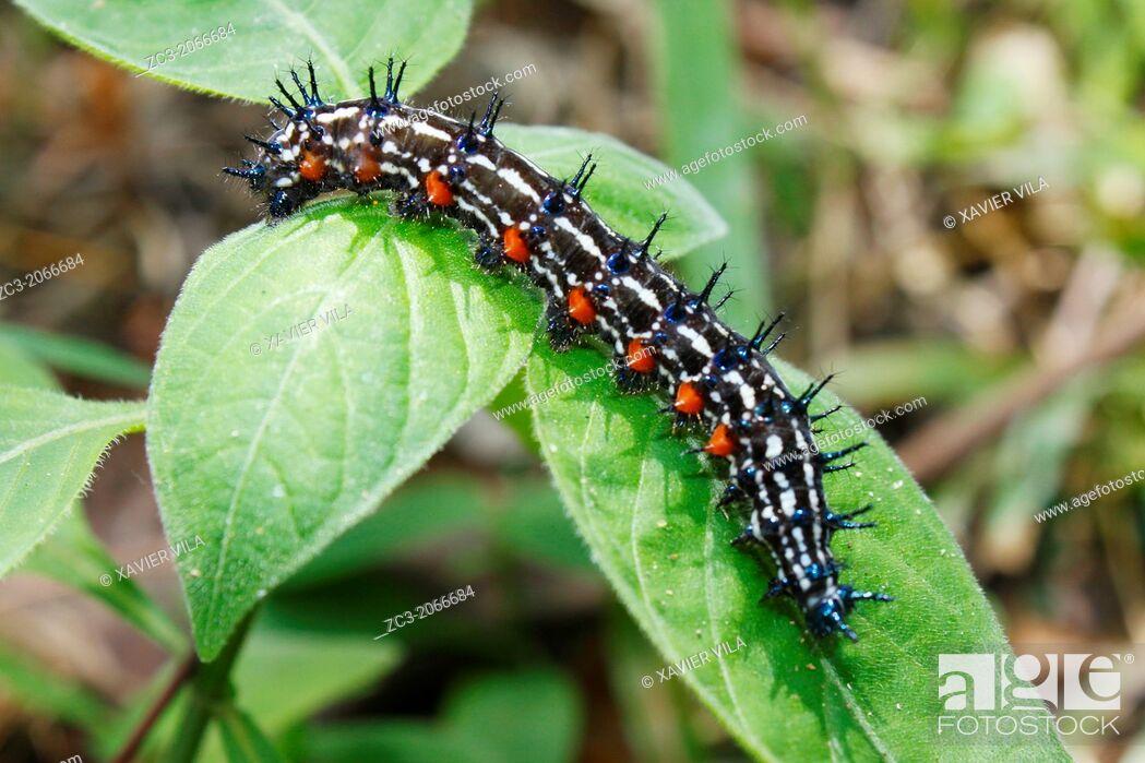 Stock Photo: Chenille, Caterpillar, Malacca, Bandar Melaka, Malaysia.