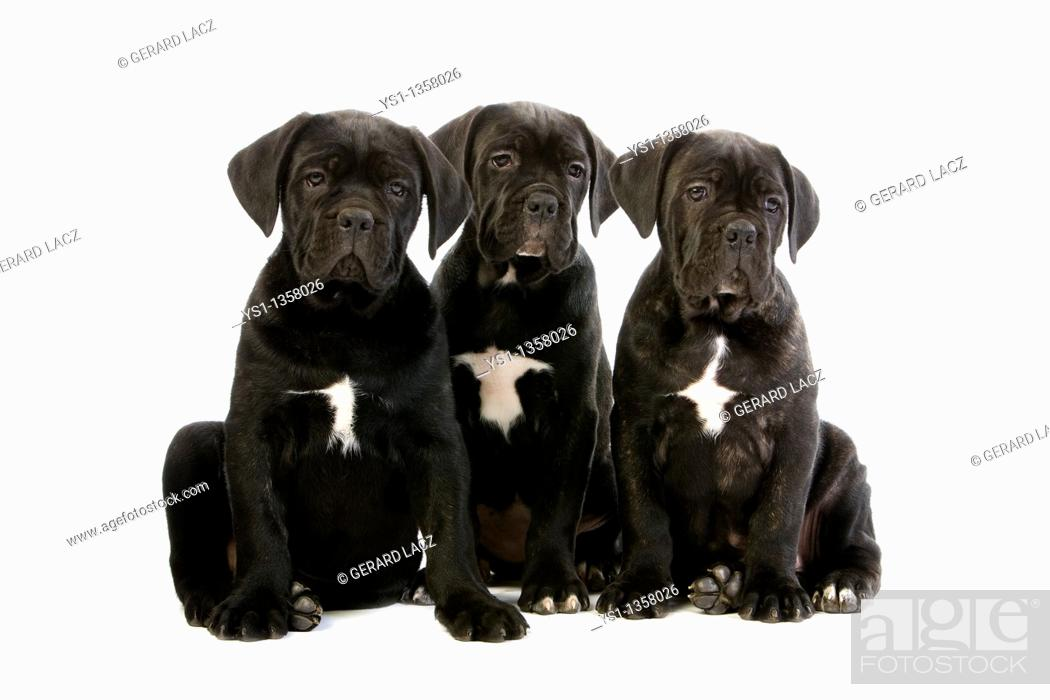 Stock Photo: CANE CORSO, A DOG BREED FROM ITALY, PUPPIES AGAINST WHITE BACKGROUND.