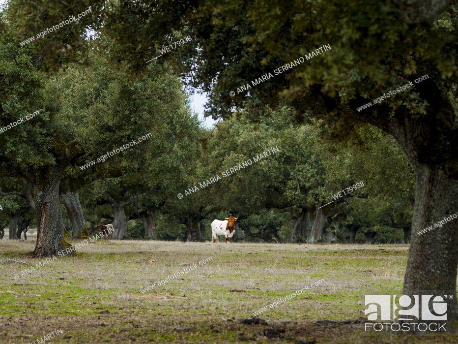 Imagen: Cows grazing in the dehesa in Salamanca (Spain). Ecological extensive livestock concept.