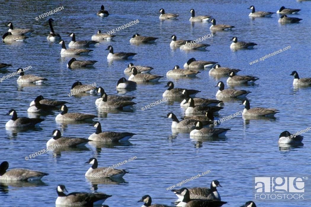 Stock Photo: Flock of ducks on pond, Pierre.