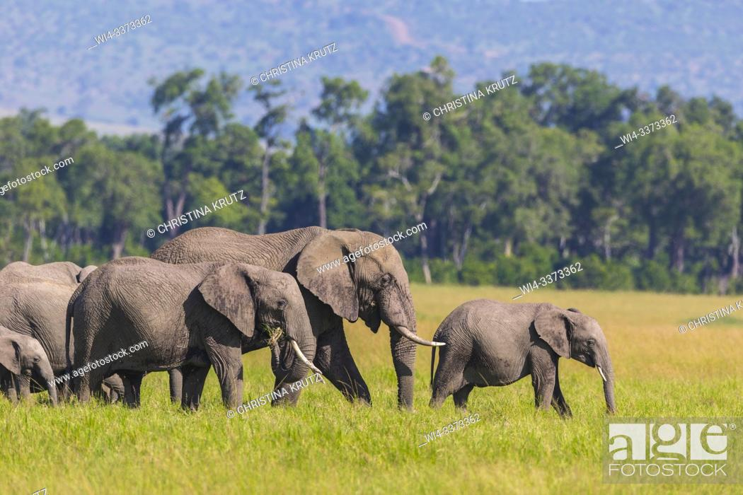Stock Photo: African elephants (Loxodonta africana), herd, adult with young walking in grass, Masai Mara National Reserve, Kenya.