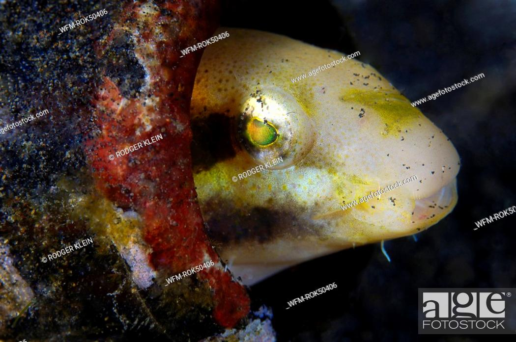 Stock Photo: Striped poison-fang blenny mimic living in a bottle, Petroscirtes breviceps, Lembeh Strait Sulawesi Celebes, Indonesia.
