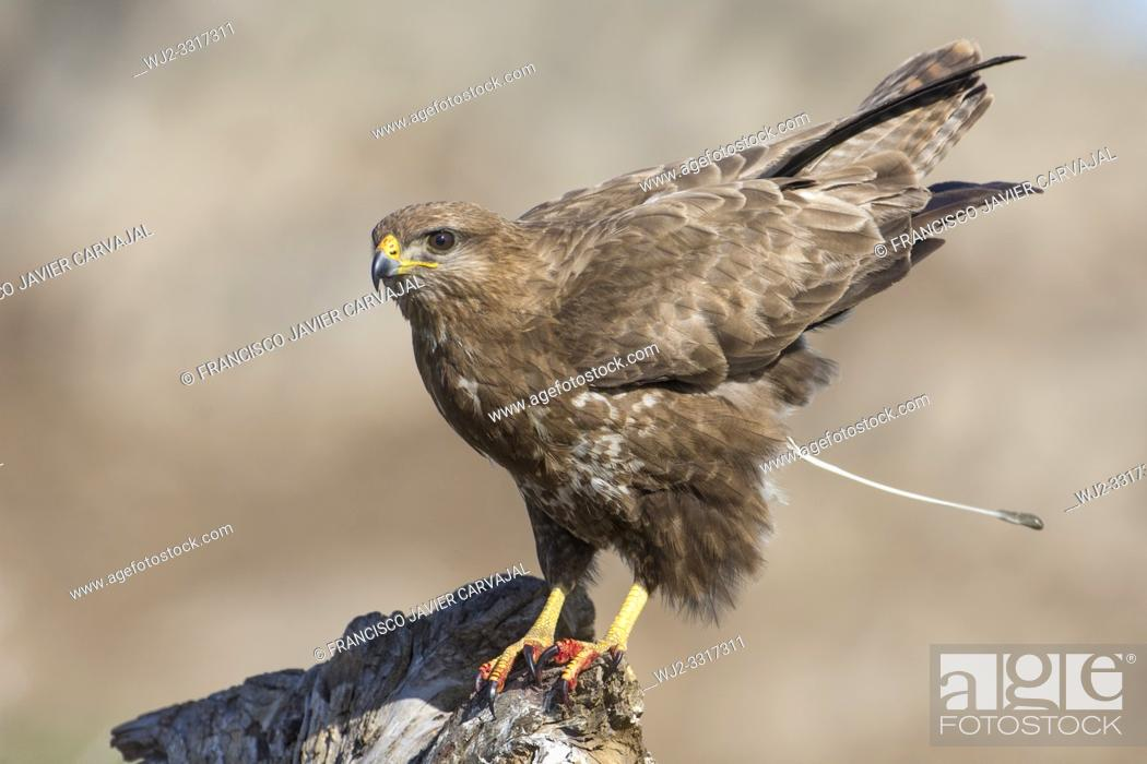 Stock Photo: Common buzzard (Buteo buteo) defecating on a trunk in Extremadura, Spain.