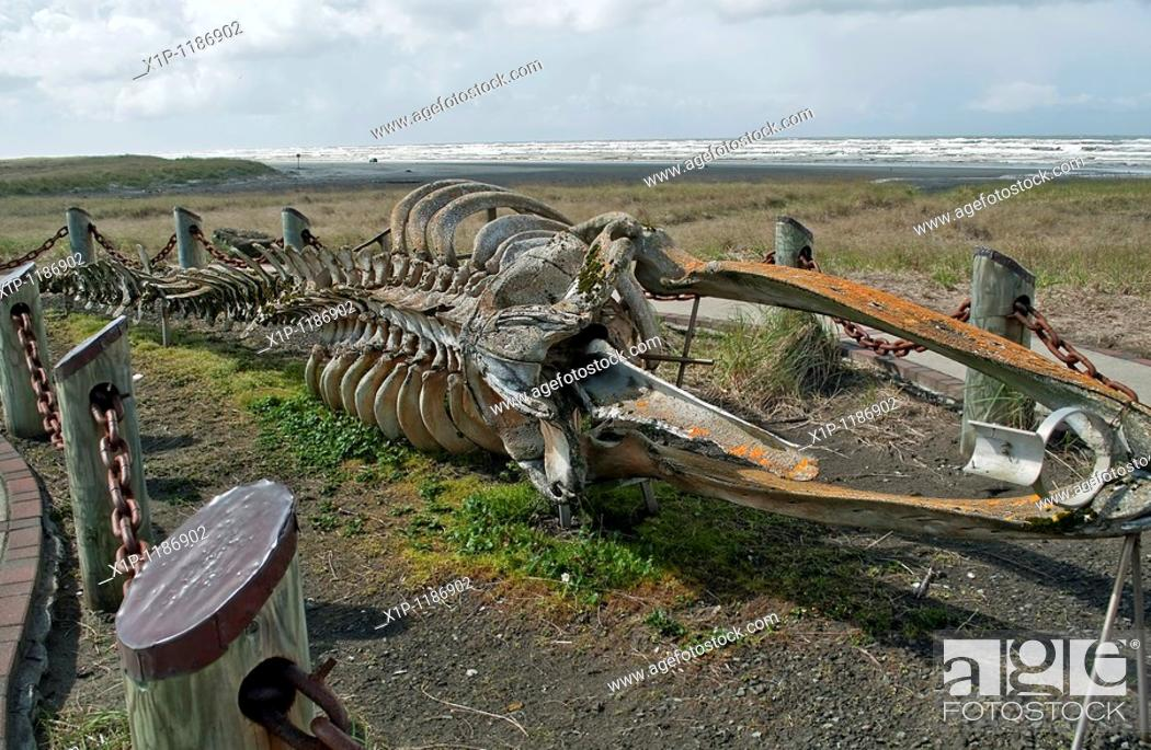 Stock Photo: his very old skelton of a gray whale Eschrichtis robustus is located on Long Beach Washington, on Discovery trail, part of the Lewis and Clark expedition in.