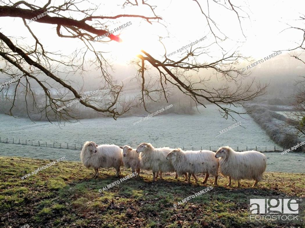 Stock Photo: Sheep near Saint-Jean-Pied-de-Port. Way of St James, Pyrenees-Atlantiques, Aquitaine, France.