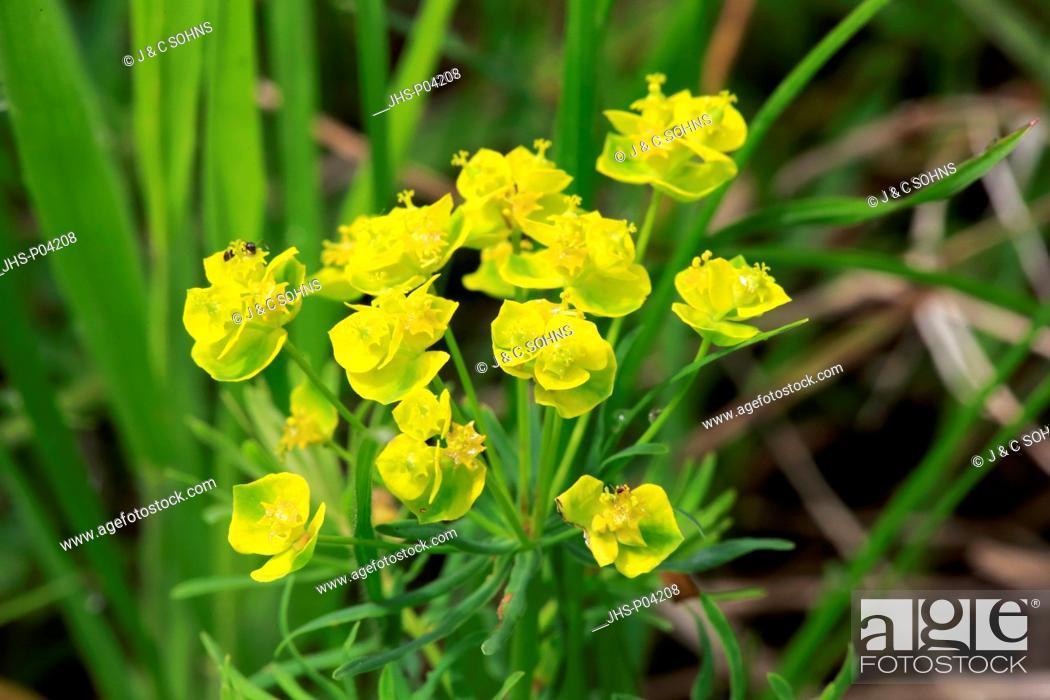 Stock Photo: Euphorbia cyparissias, (Euphorbia cyparissias), blooming, Ellerstadt, Germany, Europe.