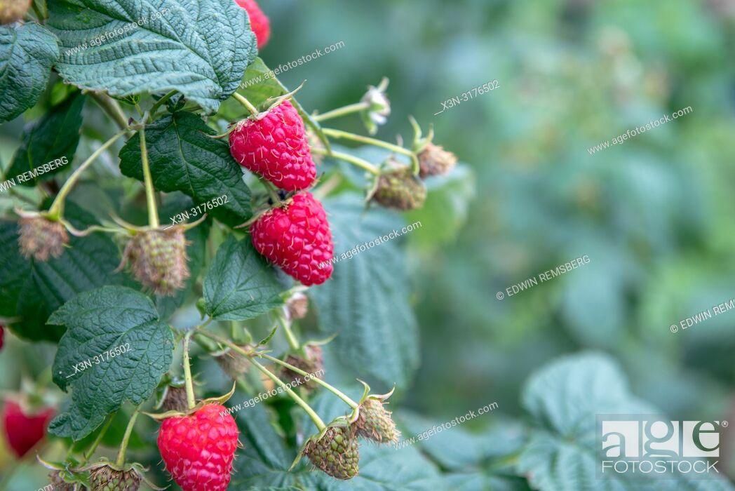 "Photo de stock: Close-up of ripe raspberries (Rubus idaeus) growing on vine of plant, ZwoleŠ"", Masovian Voivodeship, Poland."