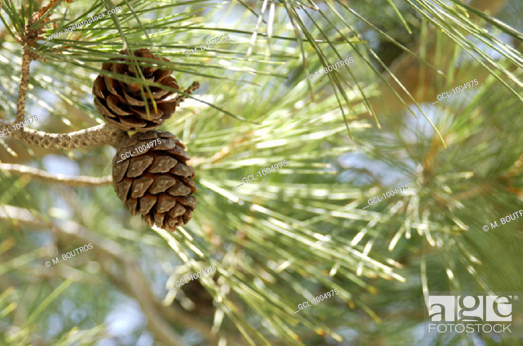 Stock Photo: Pine kernels.