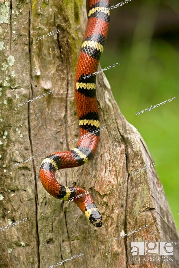 Stock Photo: Tropical milksnake (Lampropeltis triangulum), Costa Rica - tropical dry forest - non-venomous - constrictor.